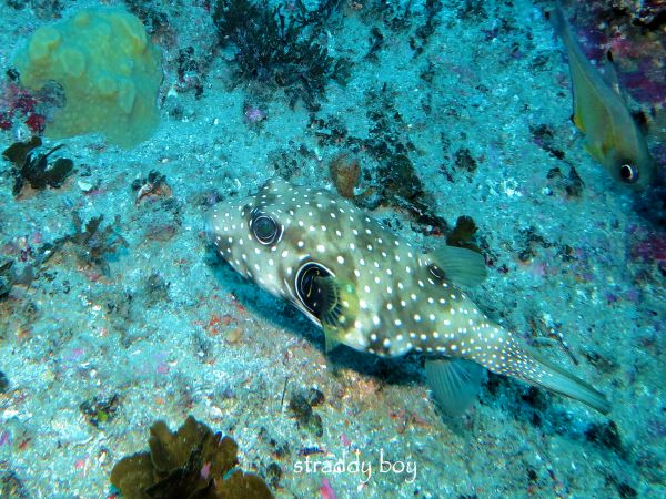 Scuba , free diving and low tide walks in SEQ for July 2016 Puffer%20fish_zpsxgvcfjbk