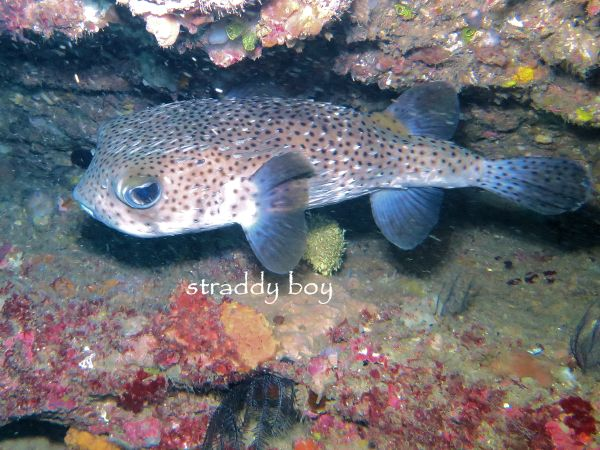 Scuba , free diving and low tide walks in SEQ for August 2016 Puffer%20fish_zpszowiof4q