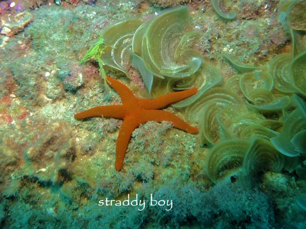 Scuba , free diving and low tide walks in SEQ for August 2016 Red%20star%20fish%205_zpsho3cx8j2