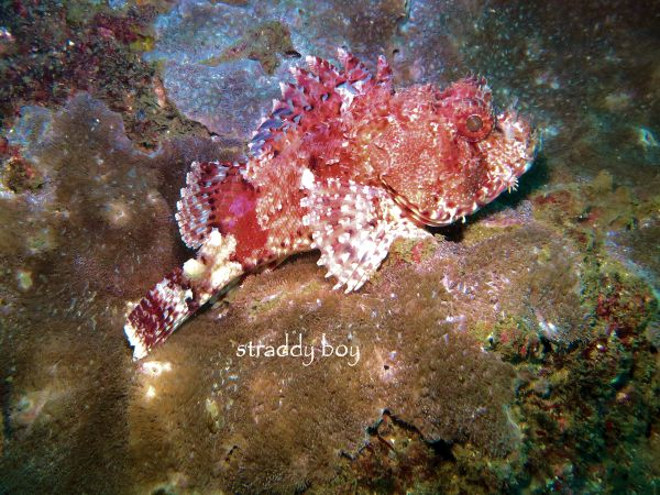 Scuba , free diving and low tide walks in SEQ for July 2016 Scupion%20fish_zpsi9w6feeh
