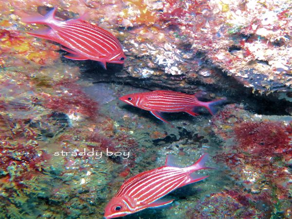 Scuba , free diving and low tide walks in SEQ for November 2016 Squal%20fish_zpszklufxxf