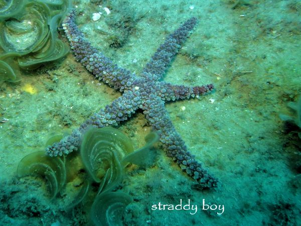 Scuba , free diving and low tide walks in SEQ for August 2016 Star%20fish%205_zpsfffzjkrq
