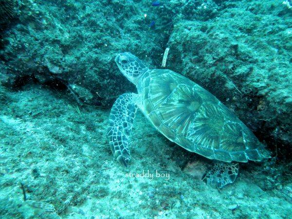 Scuba , free diving and low tide walks in SEQ for July 2016 Turtle3_zpspk21yfdx