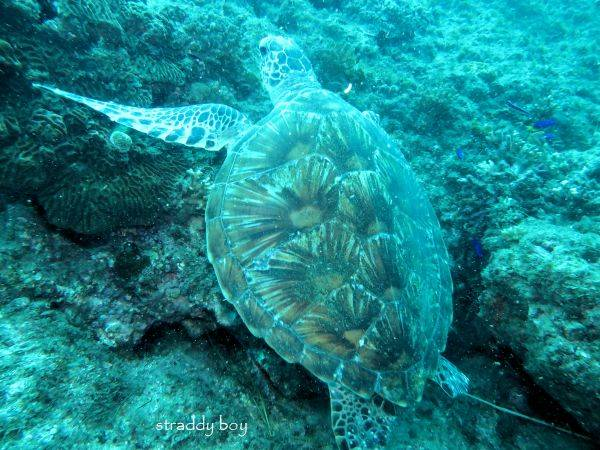 Scuba , free diving and low tide walks in SEQ for July 2016 Turtle4_zpstwvrqxgv