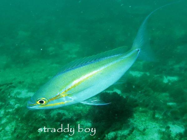 Other marine aquarium fish species found near Brisbane in SEQ. Whip%20tail%20fish_zpsitdovi6r