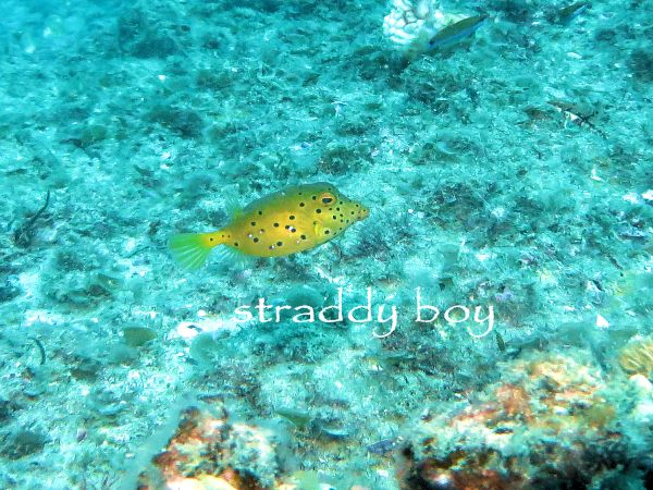 Scuba , free diving and low tide walks in SEQ for July 2016 Yellow%20puffer_zpsufa6kk8w
