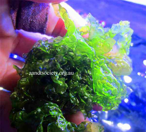 Algae for nutrient-importing for coral health,plus some cyano and more algae information. Seaettuceculledfromtheaquarium-