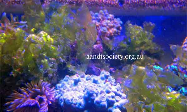 Algae for nutrient-importing for coral health,plus some cyano and more algae information. Sealettuseintheaquarium-