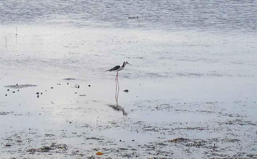 Brisbane bayside beautiful coast line,a little piece of it! Bird-2