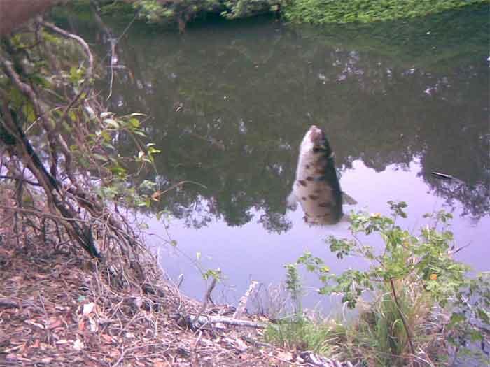 Hiliards creek fishing in suburban Brisbane Creek-10