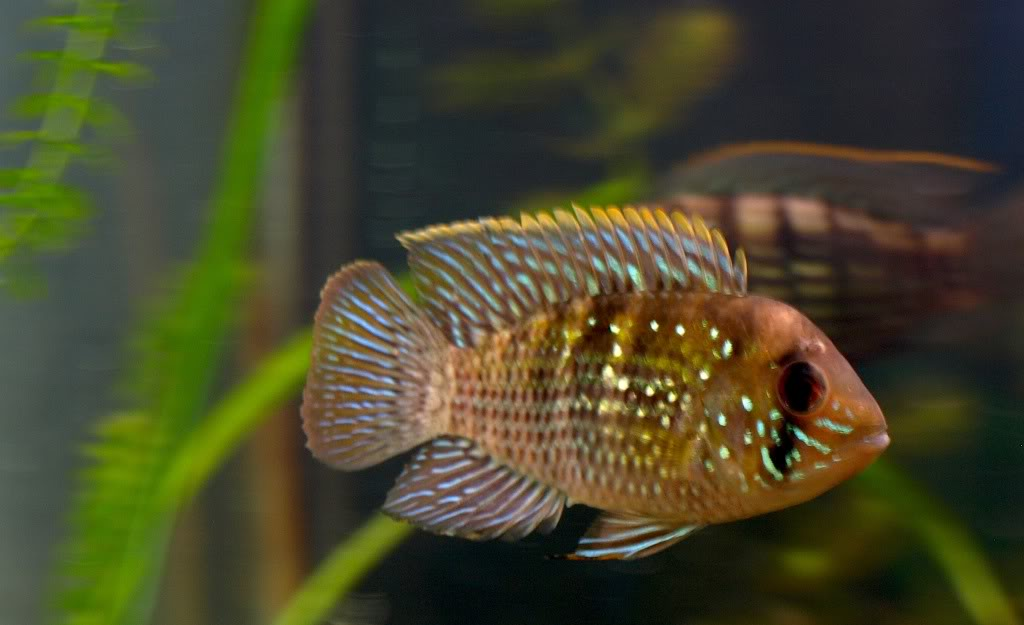 ** JUNE Fish Of the Month **   Blue acara (Aequidens Pulcher)  MaleBA