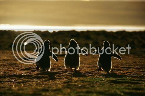 Nossos Primeiros Admins! Picture-of-penguins_zpslgablnru