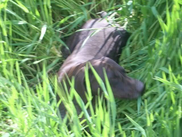 Nemacki kratkodlaki pticari Jassy i Simba - Page 3 Picture015