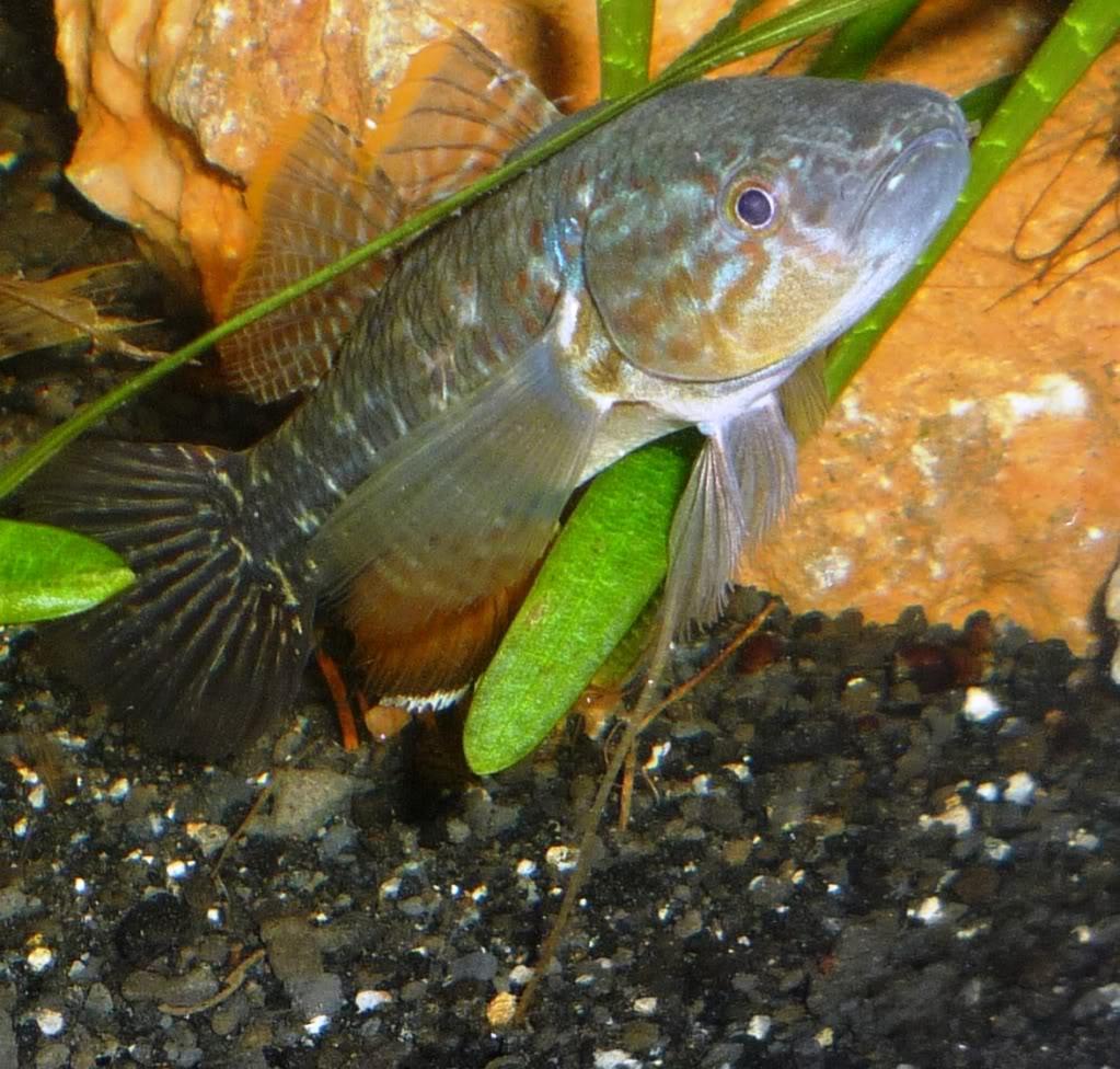 Peces de la Hispaniola Dormitatormaculatus