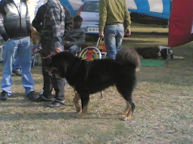 Ludhiana DogShow on 29 November 2009 29112009