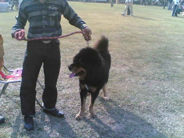 Ludhiana DogShow on 29 November 2009 29112009002