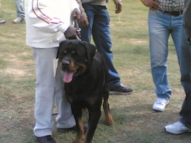 Ludhiana DogShow on 29 November 2009 29112009007