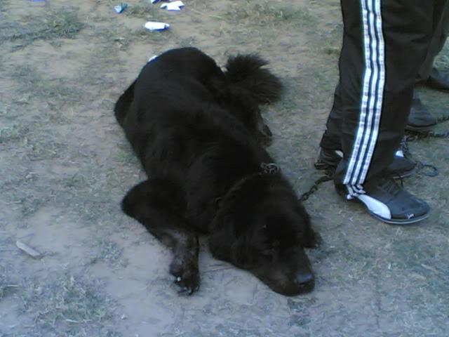 Ludhiana DogShow on 29 November 2009 29112009011