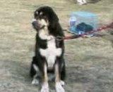 Ludhiana DogShow on 29 November 2009 Th_29112009005