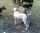 Ludhiana DogShow on 29 November 2009 Th_29112009011-1
