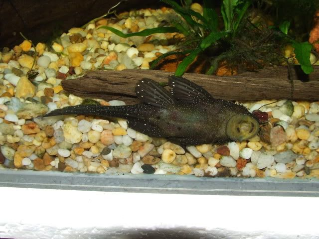 Mooo's got a new male Peppermint Brislenose .. DSCF2537