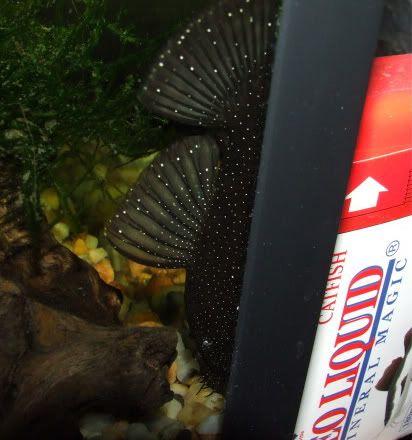 Mooo's got a new male Peppermint Brislenose .. DSCF2543-1