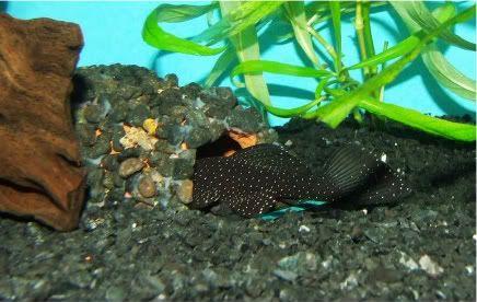 Mooo's got a new male Peppermint Brislenose .. DSCF3348