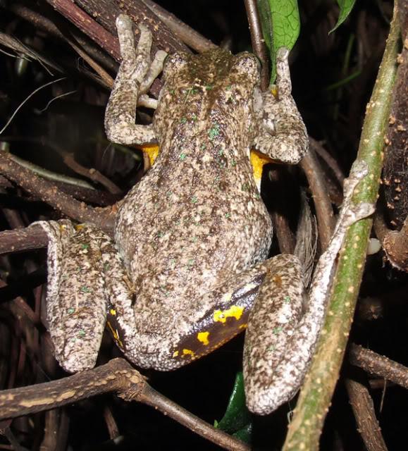 Back yard visitors Froggy1