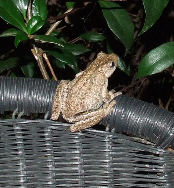 Back yard visitors Froggy3