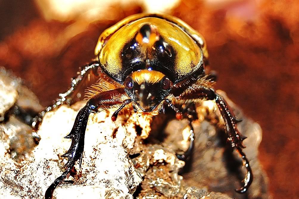 my new addiction(beetles) DSC_8538
