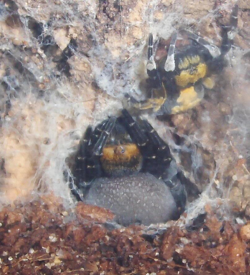 erusus albopictus Albopictus1