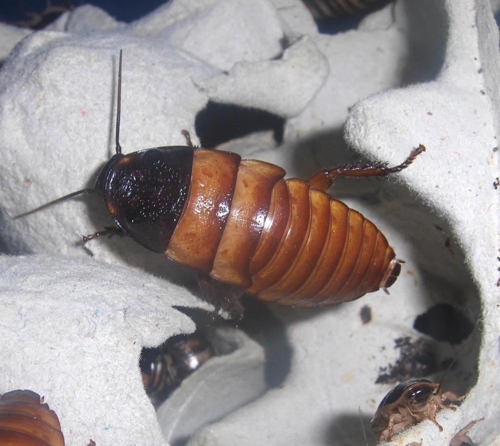a few roach pics Chopardi