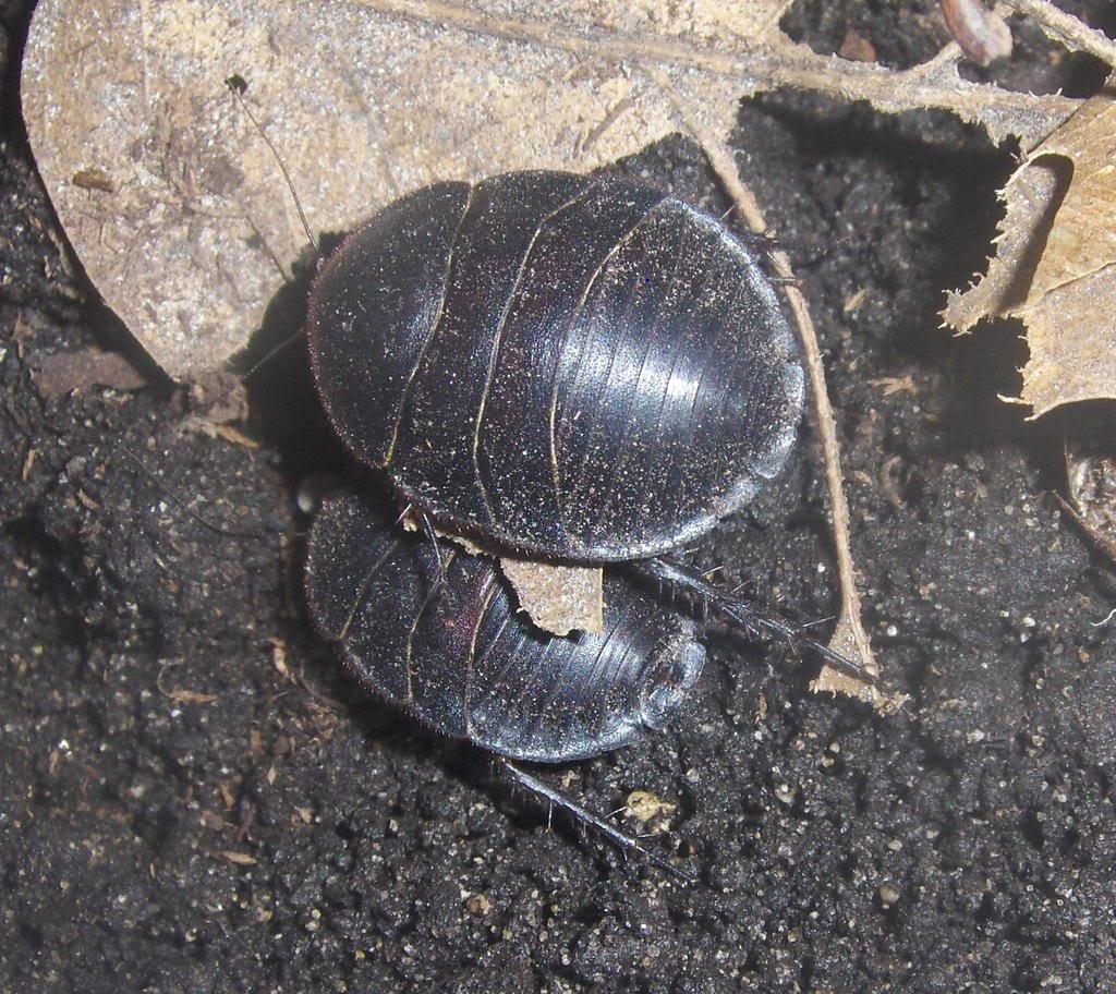 a few roach pics Egeytian