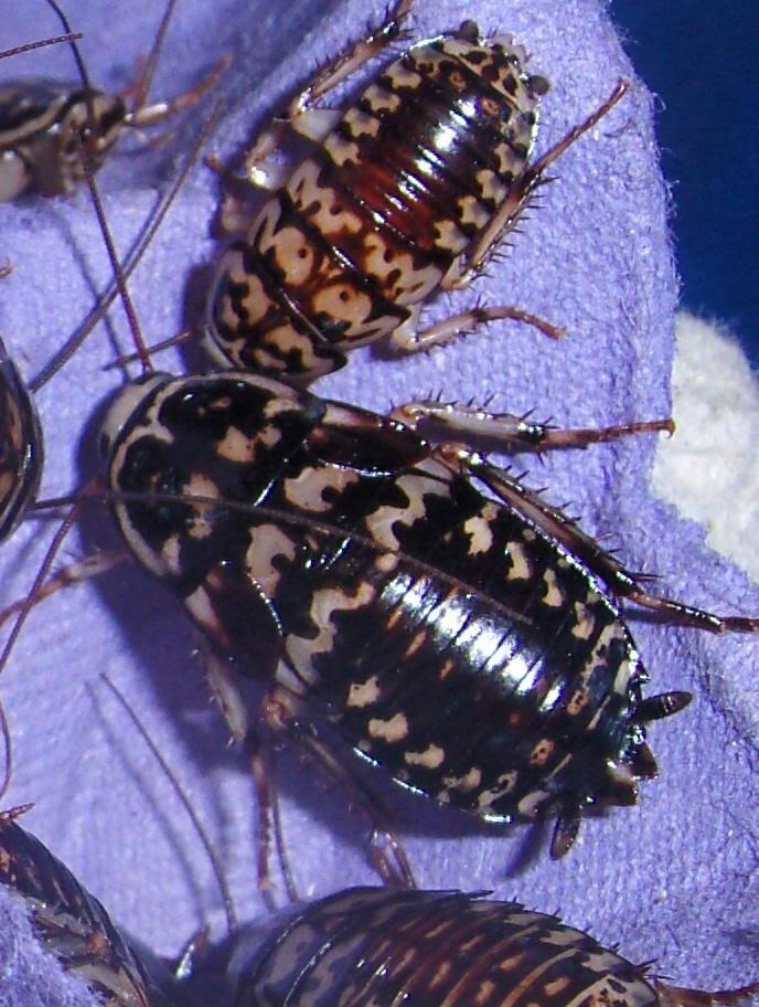 a few roach pics Harlequins