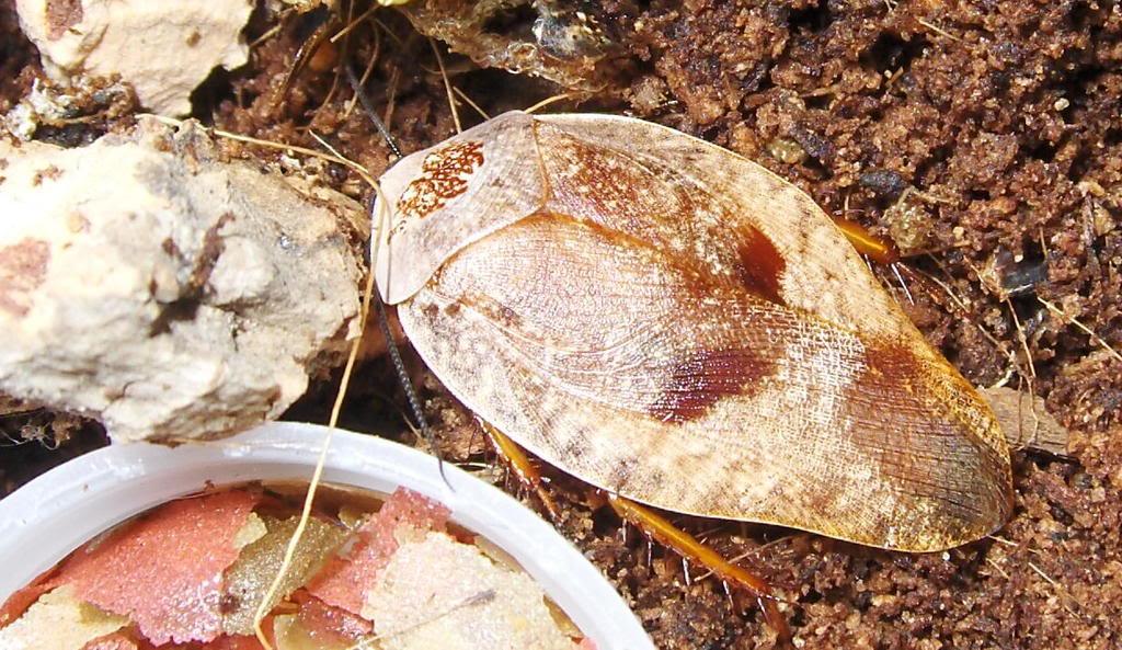 a few roach pics Lurida