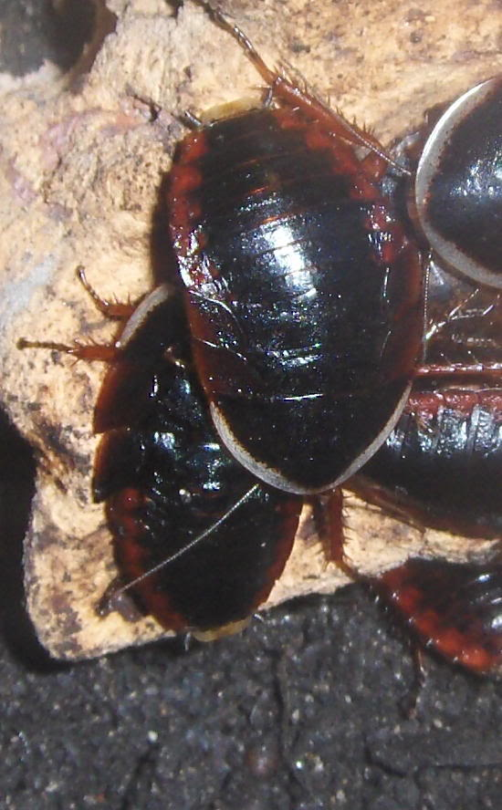 a few roach pics Redblkrch