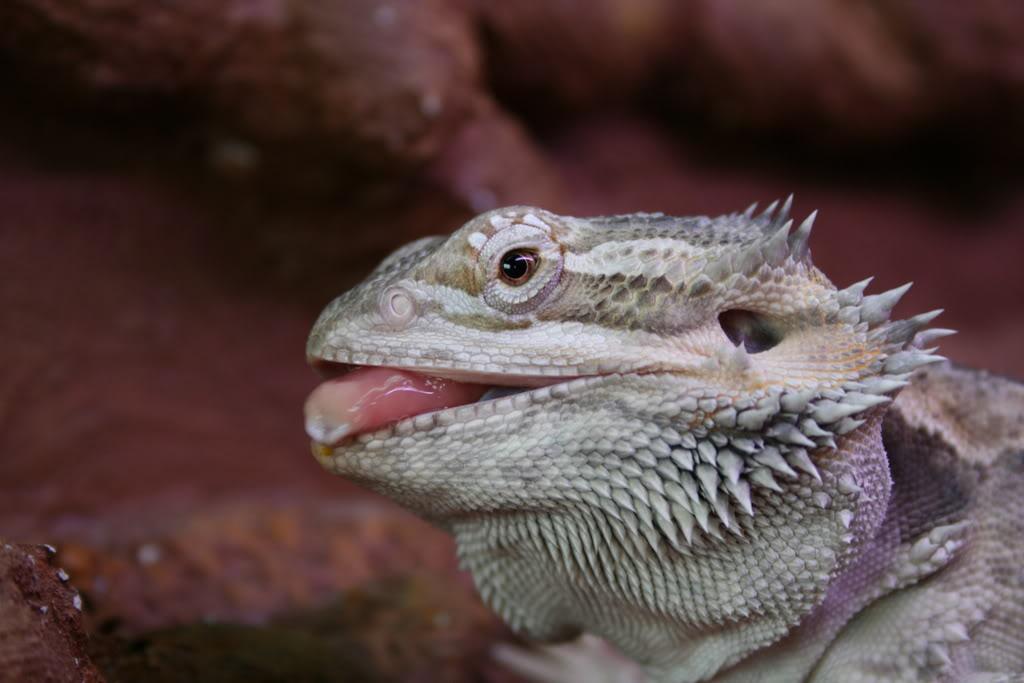 Some of my lizards :) Bilde019