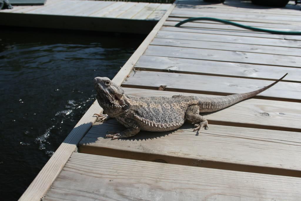 Some of my lizards :) Bilde074
