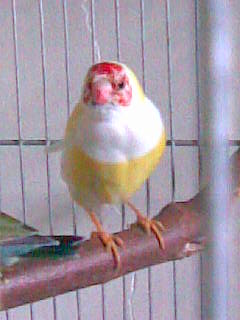 Breeding GOULDIAN FINCHES Image087