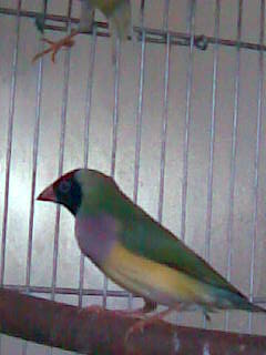 Breeding GOULDIAN FINCHES Image122