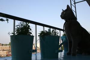 Nanno, my Blue Russian 'wannabe' (many photographs!) IMG_1293kp