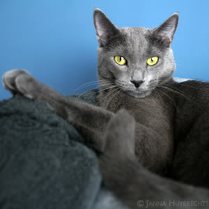 Nanno, my Blue Russian 'wannabe' (many photographs!) IMG_1402kp