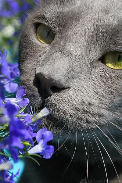 Nanno, my Blue Russian 'wannabe' (many photographs!) IMG_3167kp