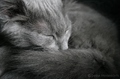 photo contest - Winter 2008-  Your favorite (Nebelung)photo IMG_6603kp