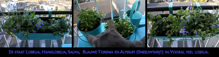 Nanno, my Blue Russian 'wannabe' (many photographs!) Bloembakken