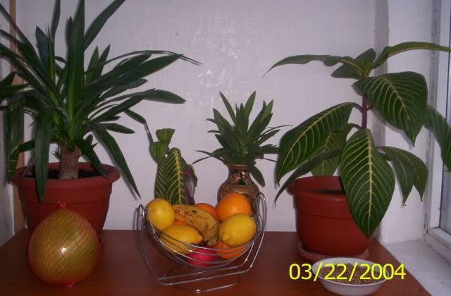 poze cu plantele mele de ghiveci ! - Pagina 3 100_9076