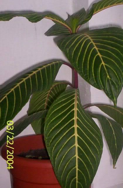 poze cu plantele mele de ghiveci ! - Pagina 3 100_9080
