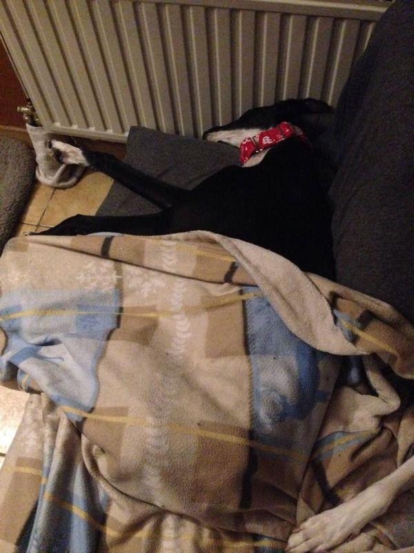 Natalia, galga noire et blanche, qui na pas 1 an  Scooby France Adoptée  - Page 3 12025435_549447108546106_1288683447_n_zpsuzhletah