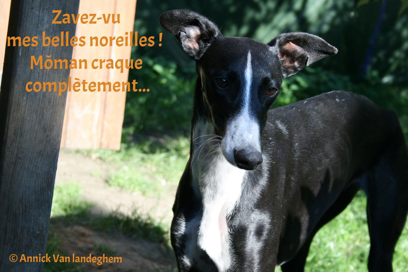 Natalia, galga noire et blanche, qui na pas 1 an  Scooby France Adoptée  - Page 4 33c68187-41af-4834-8299-2ee4ee1e0f86_zpsvyisqcek