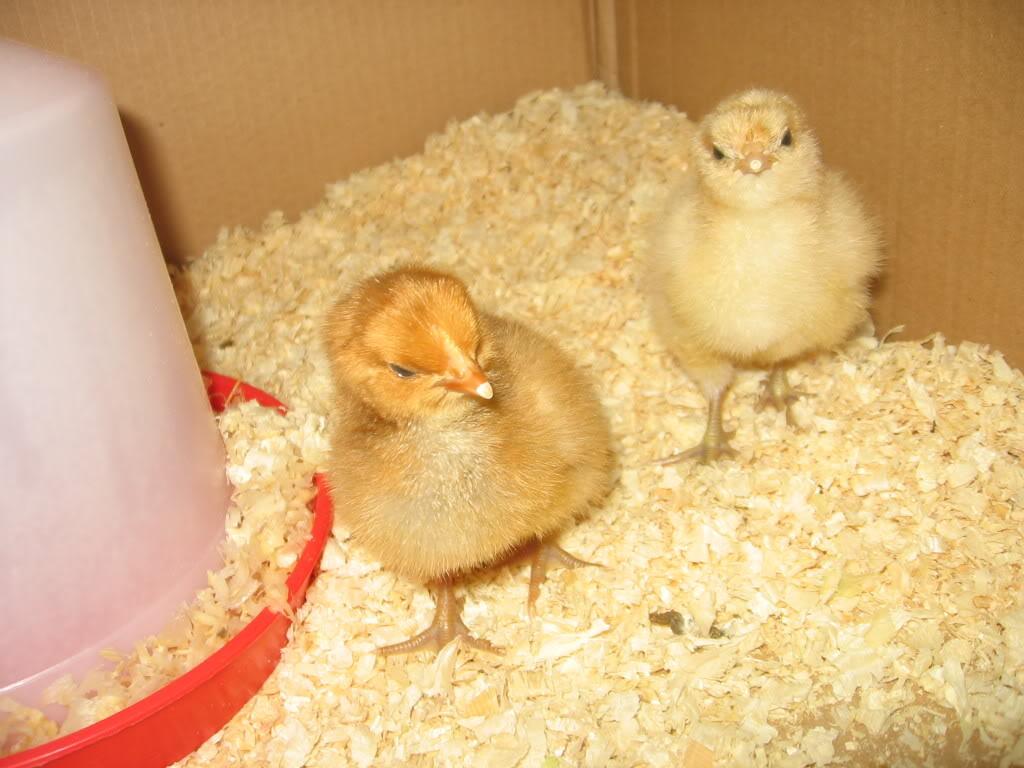 more chicks!! IMG_4183